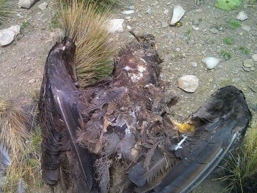 Cóndor muerto en Rinconada