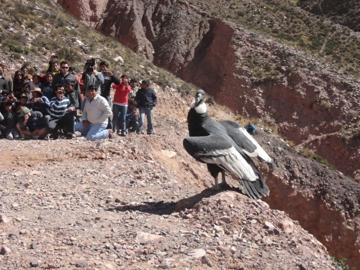 Cóndor hembra Purmamarca