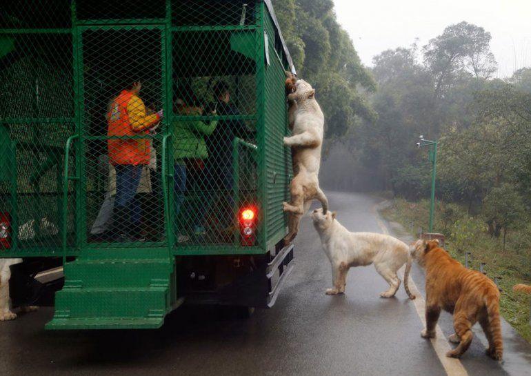 Leones buscan alimentos en las jaulas con visitantes