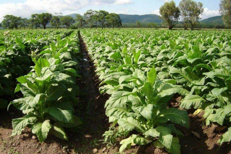 Hoy inician las negociaciones por el precio del tabaco