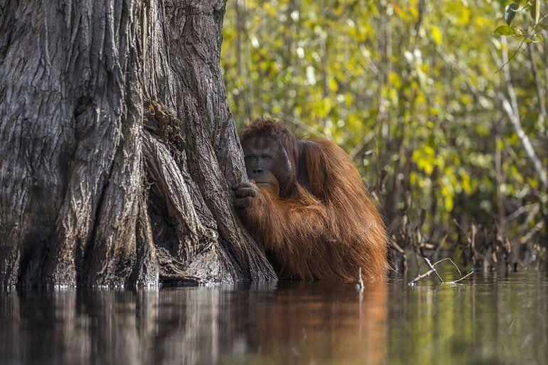 Un orangután macho observa desde atrás de un árbol mientras cruza un río en Borneo