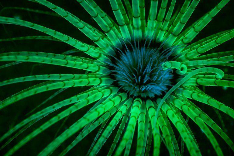 Las luces estroboscópicas con filtro azul estimulan los pigmentos fluorescentes en los tentáculos claros de una anémona en Hood Canal