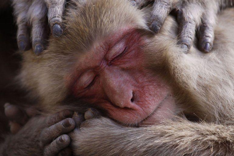 Un macaco japonés descansa en las orillas de las famosas aguas termales.