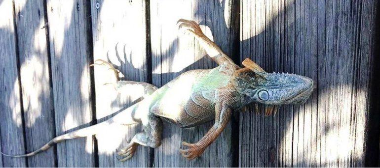 Ola de frío en Estados Unidos: Lluvia de iguanas en Florida por las bajas temperaturas
