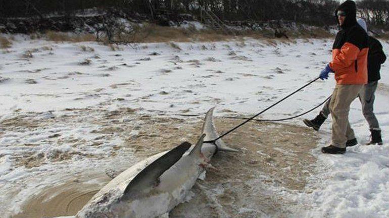 Tiburones congelados, la ola de frío de EEUU desorientó hasta la misma naturaleza