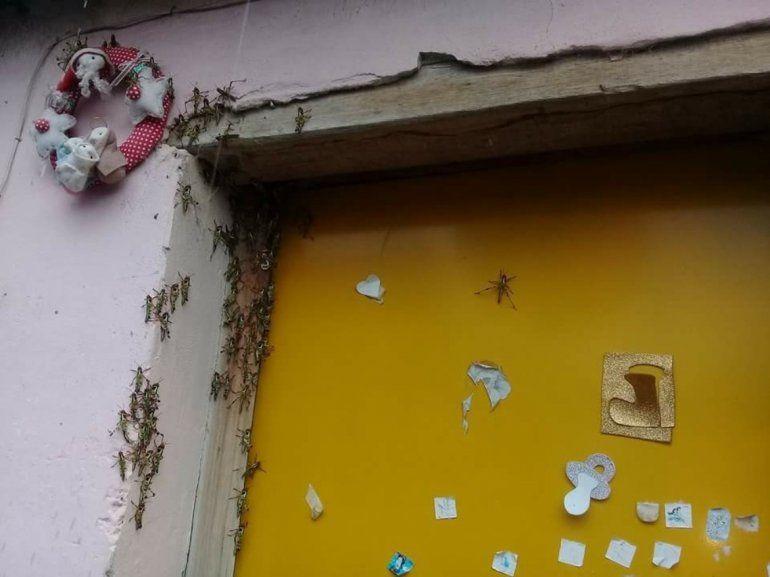 Otra vez la plaga de langostas llegó a Jujuy, el SENASA recomienda la denuncia de los focos de nacimiento