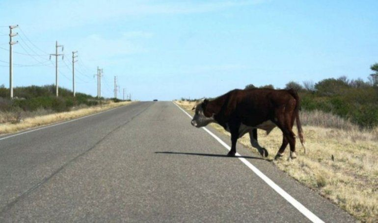 Caballería secuestró a 26 animales: hoy un auto atropelló a una vaca en la Ruta 9