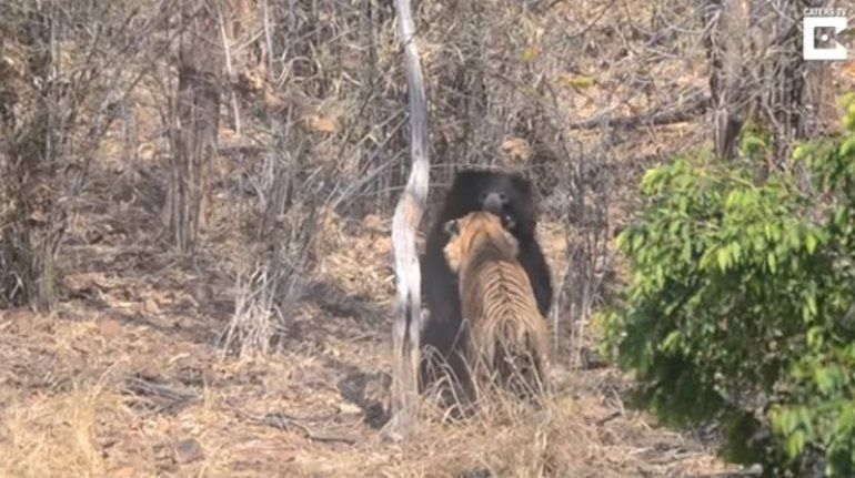 Mamá oso se enfrenta a un tigre en una sangrienta pelea para proteger a su cría