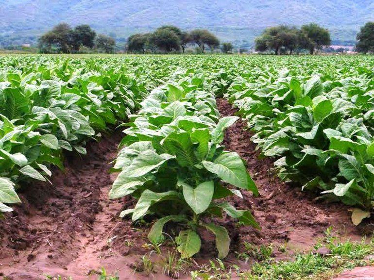 Tabaco: fijaron pautas para ayudar los pequeños productores