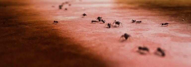 Cómo eliminar las hormigas de casa para siempre
