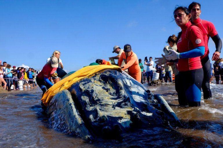Punta Mogotes: una ballena quedó varada y se vivió un tenso momento para salvarla