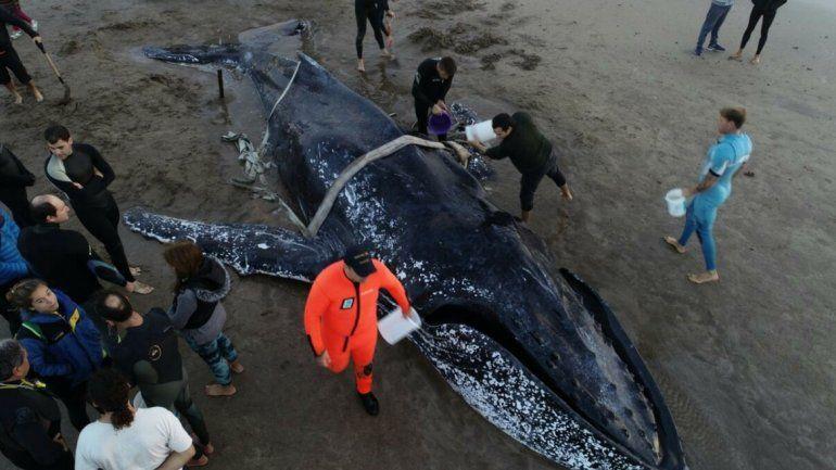 Murió la ballena que había quedado encallada en Punta Mogotes
