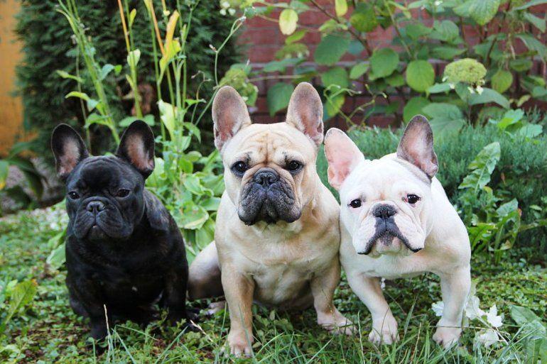 Cuáles son las razas de perros más amadas por los argentinos