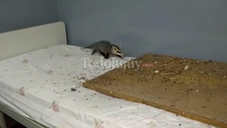 Insólito: estaba internada en el hospital de Calilegua y le cayó una comadreja del techo