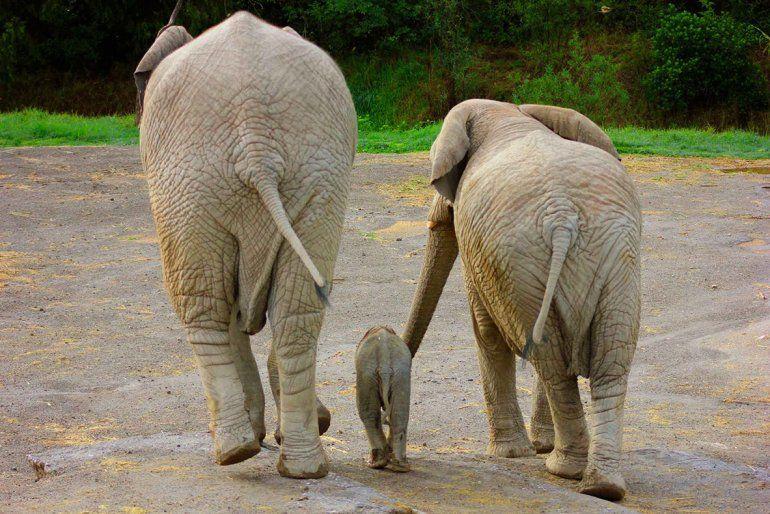 El nacimiento de un elefante que se volvió viral por la reacción de la manada
