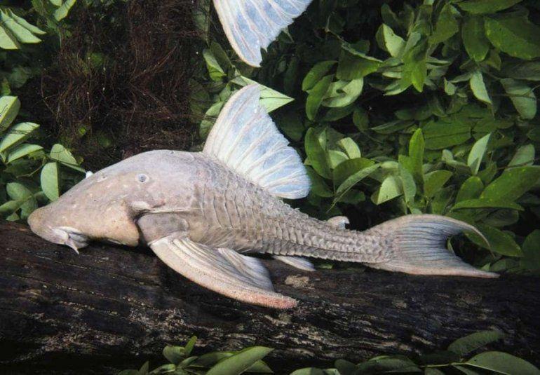 El pez que devora madera