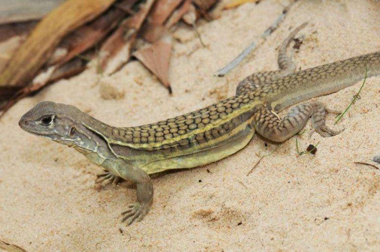 El lagartoLeiolepis ngovantrii