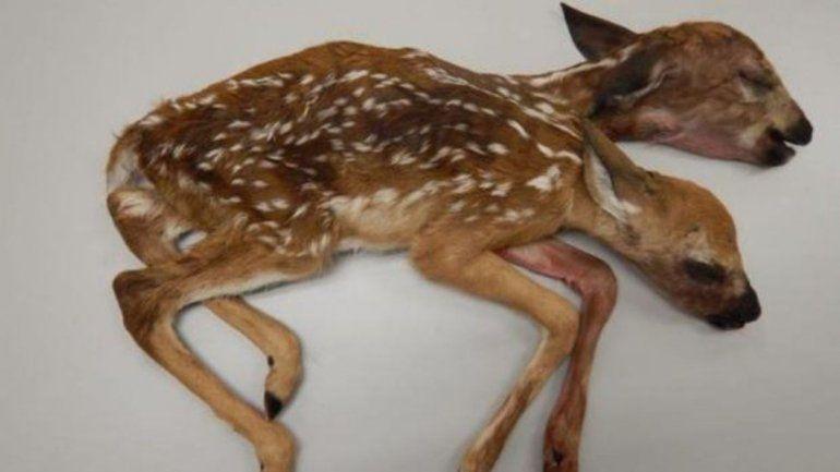 Nació un Bambi con dos cabezas en Estados Unidos