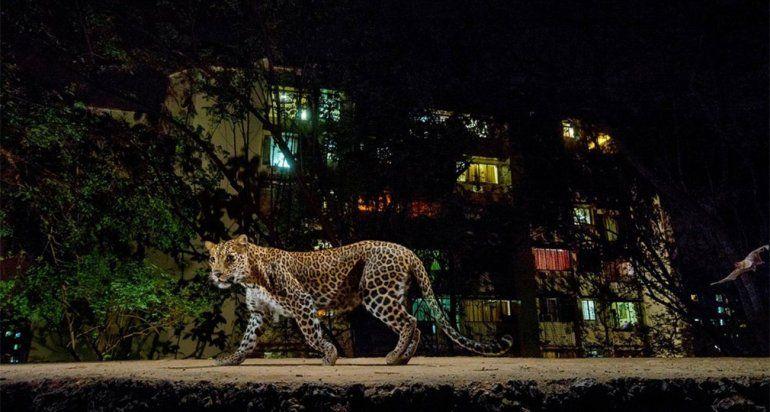 Impresionante video: una perra atacó a un leopardo feroz para salvar a su cachorro