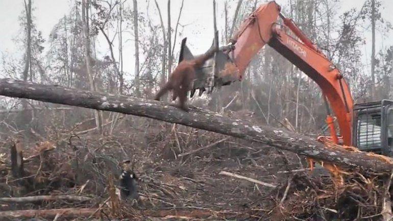 En Indonesia, un orangután se enfrentó a una excavadora para cuidar su hábitat