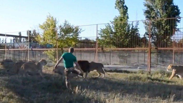 Increíble: el cuidador de un parque espantó a 7 leones a chancletazos