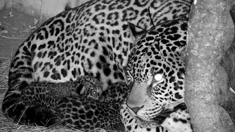 Corrientes: nacieron los dos primeros yaguaretés en más de medio siglo