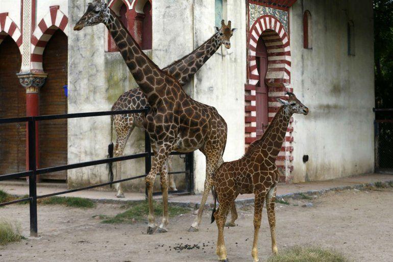 Conmoción en el Ecoparque porteño por otra muerte: esta vez una jirafa de 18 años