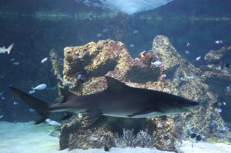 No se salva nadie: robaron un tiburón de un acuario dentro de un coche para bebés