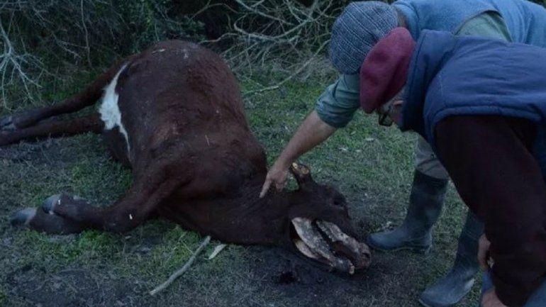 ¿Otra vez el chupacabras? Aparecieron vacas mutiladas en Santa Fe