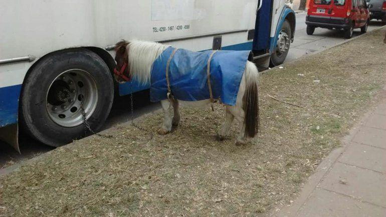 Indignante: un poni abandonado por horas, atado a un colectivo, sin agua y sin comida