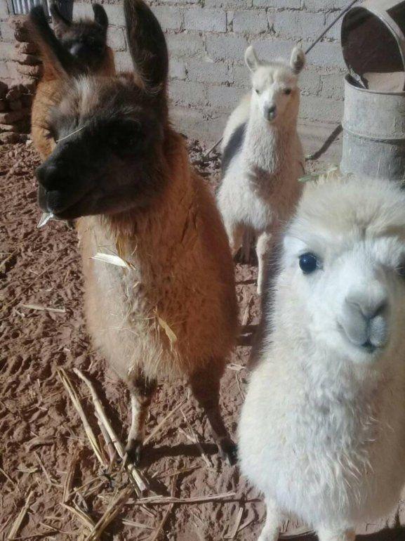 Polémico: ofrecen llamas como mascotas en un grupo de compra venta de Jujuy