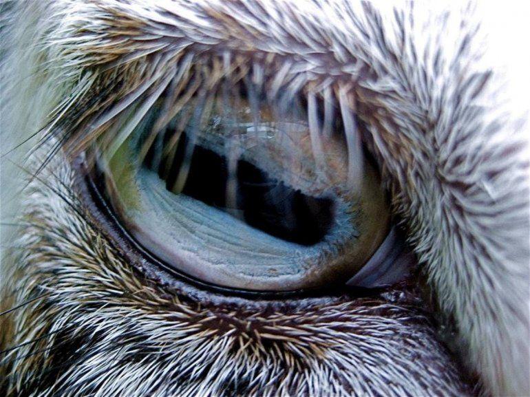Ojo de cabra
