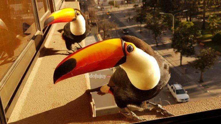 Una visita inesperada: tucanes sorprendieron a los jujeños en el centro de la ciudad