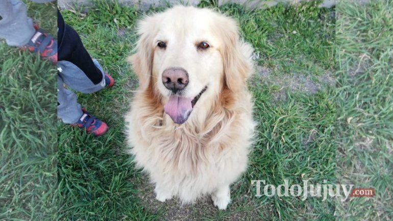 Conocé a Diana la perra golden que le salvó la vida a una familia jujeña