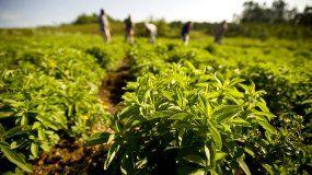 Qué es la Stevia, orígen y composición de la mejor alternativa al azúcar