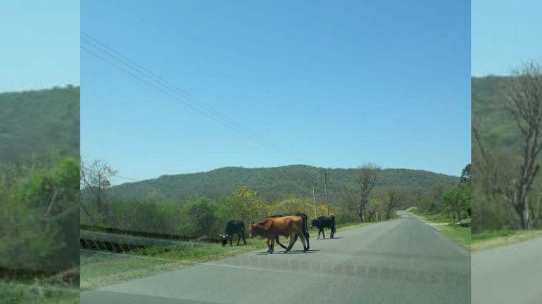 En las rutas jujeñas los animales siguen sueltos