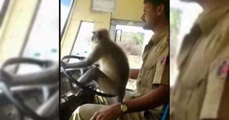 Insólito: Un chofer de colectivo dejó manejar a un mono durante 10 minutos