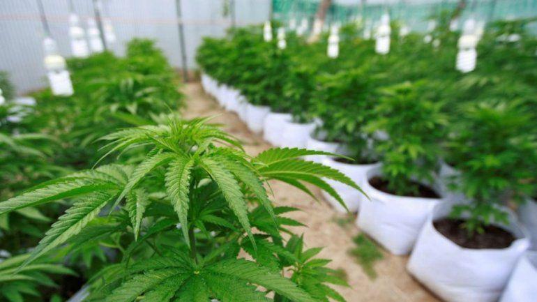 El proyecto de producción de aceite de cannabis y la creación de una empresa en Jujuy podría ser ley hoy