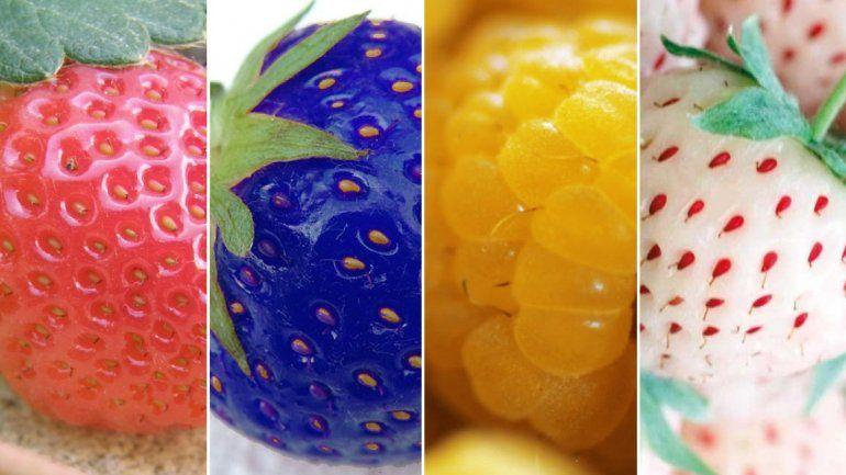 En seis meses Jujuy tendría las primeras 5 toneladas de frutillas de colores