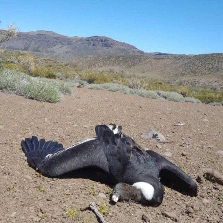 Aparecieron 23 cóndores muertos en la Patagonia