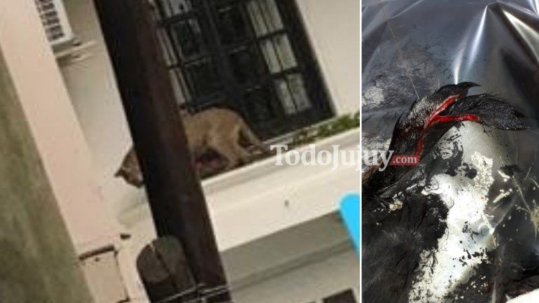 Se recupera el perro atacado por el puma: Le partió la oreja y le clavó las garras en el lomo