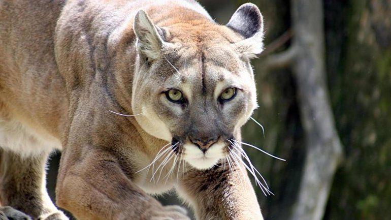 ¿Qué hacer si te encontras con un Puma? Mirá estas recomendaciones