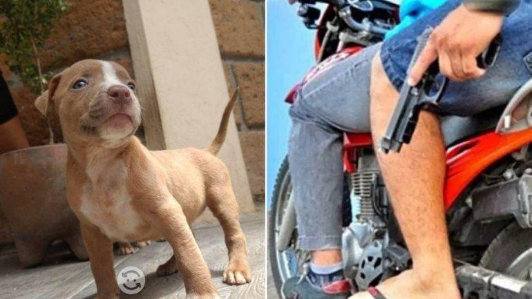 Dos motochorros asaltaron a un hombre para robarle su cachorrito pitbull
