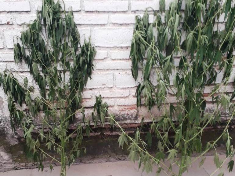 San Pedro: detienen a un hombre con tres plantas de marihuana