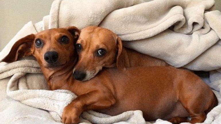 Hoy es el día del perro salchicha, estos pequeños que se ganaron nuestro corazón