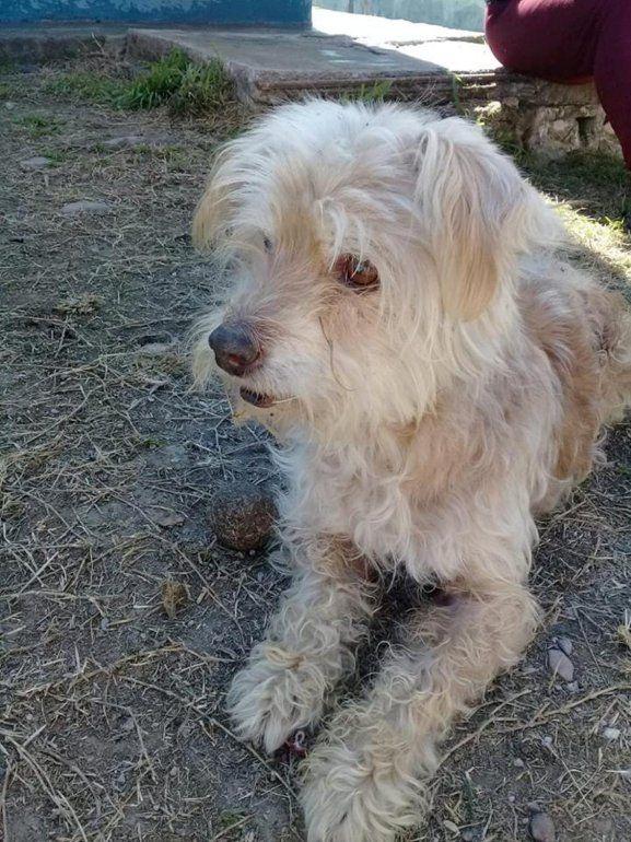 Buscan desesperadamente a un perrito de 18 años que necesita cuidados especiales: es ciego y sordo