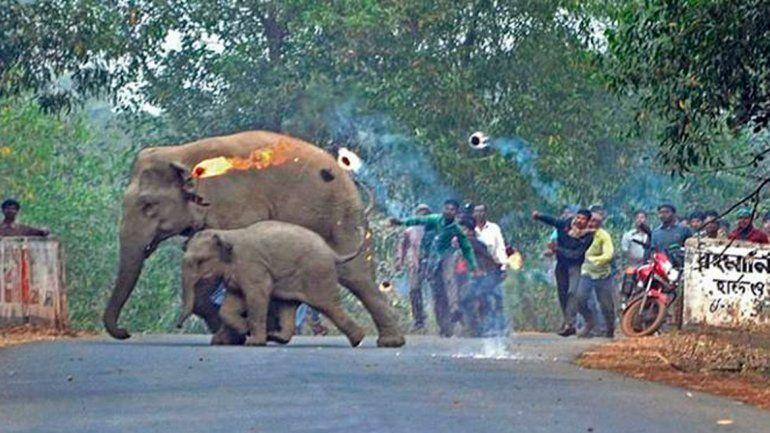 Lanzan bolas de fuego a elefantes que escapaban de la deforestación