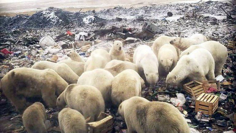 El derretimiento de los hielos provocó una invasión de osos polares agresivos