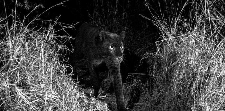 Luego de cien años logran fotografiar a un leopardo negro