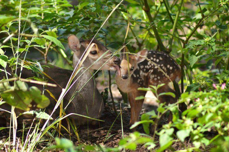 La naturaleza está de fiesta: celebran el nacimiento de una corzuela